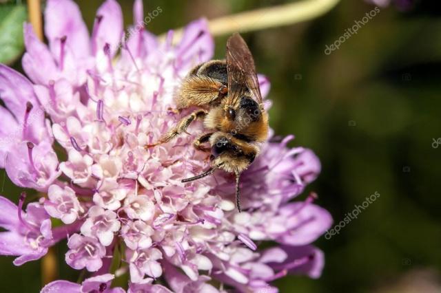 depositphotos_24876053-stock-photo-bee-apis-mellifica